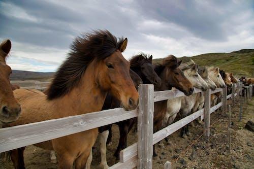 Herd of Horses on White Wooden Fence
