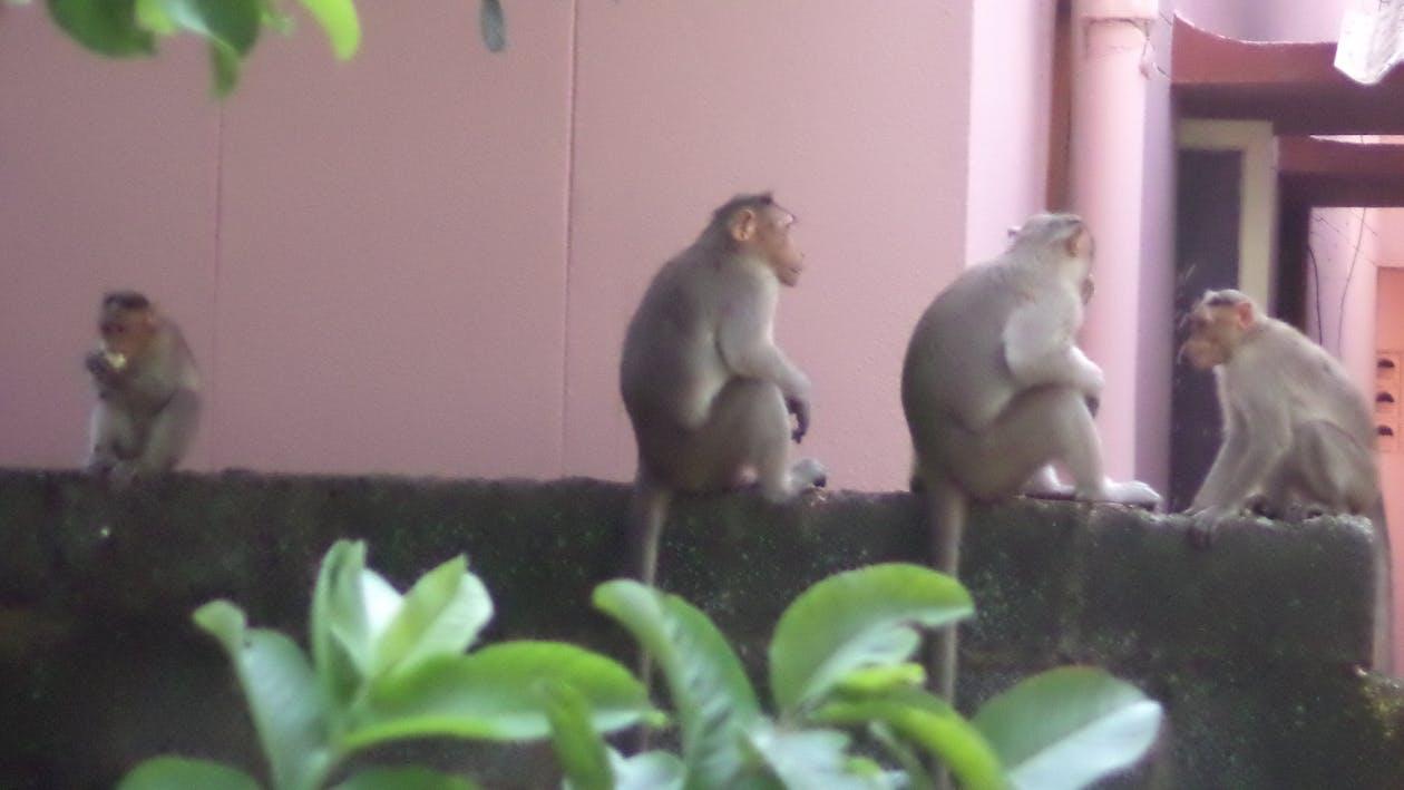 Free stock photo of monkeys