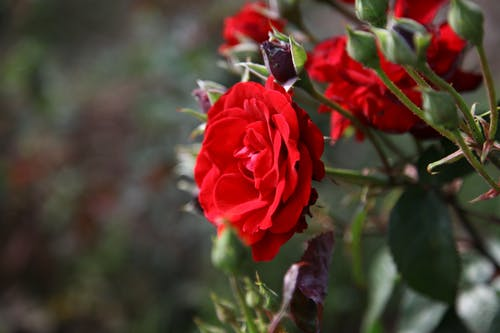 Close-Up Photo of Red Roses in Bloom