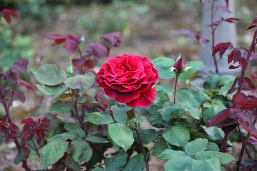 A Red Rose in Bloom