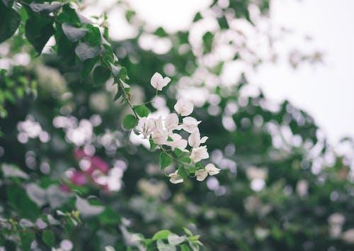 Безкоштовне стокове фото на тему «білі квіти, впритул, глибина різкості»