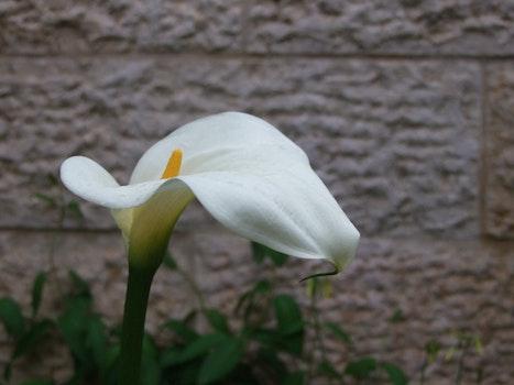 Free stock photo of calla flower