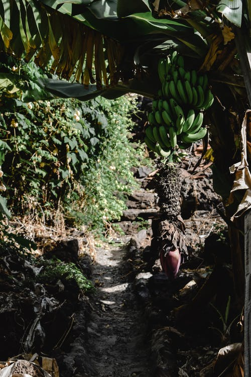 Imagine de stoc gratuită din banane, bananier, cale