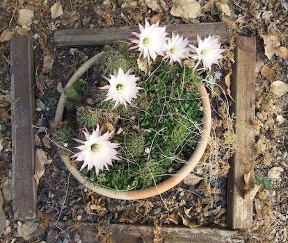 Free stock photo of cactus flowers