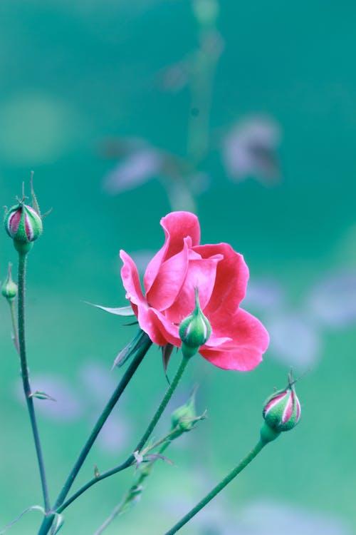 Macro Shot of a Pink Flower in Bloom