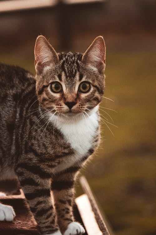Close-Up Shot of a Tabby Cat