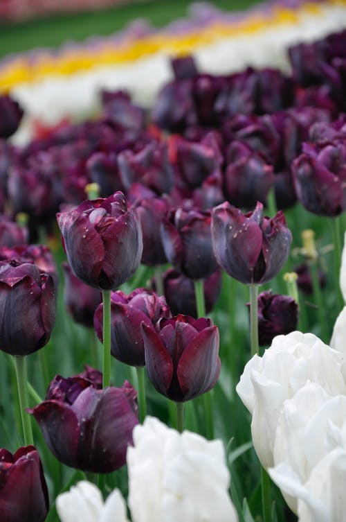 Close-Up Shot of Purple Tulips in Bloom