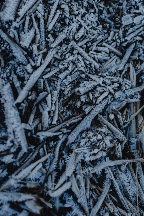 Sosna Pokryte śniegiem Liście