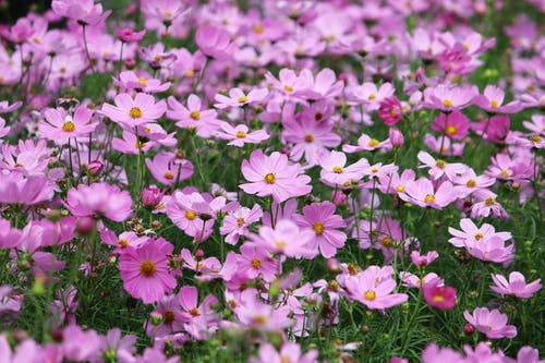 Close-Up of Purple Cosmos in Bloom