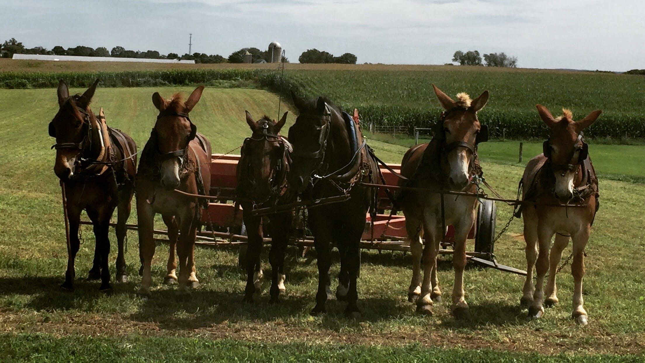 Kostenloses Stock Foto zu bauernhof, land, maultiere, pferde