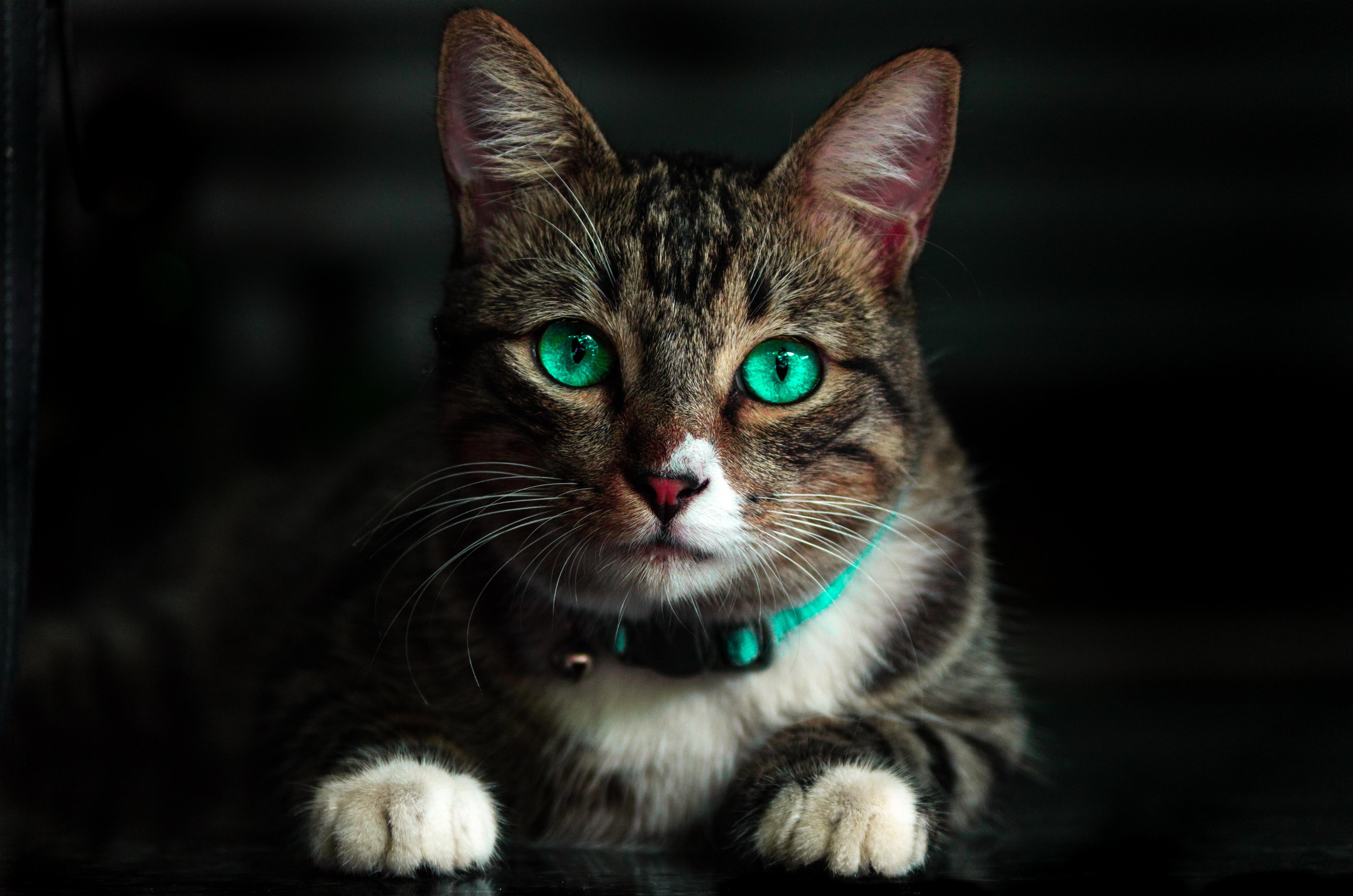Кот взгляд испуганный  № 650740 бесплатно