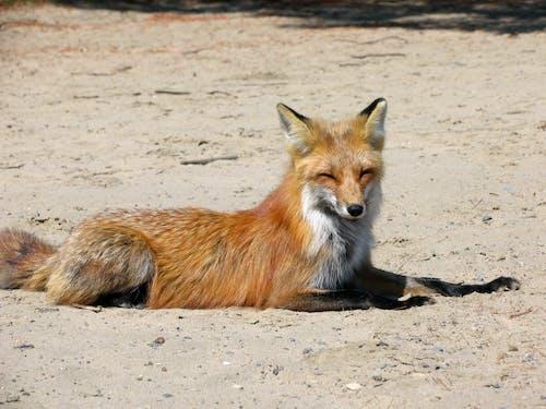 Brown Fox on Brown Sand