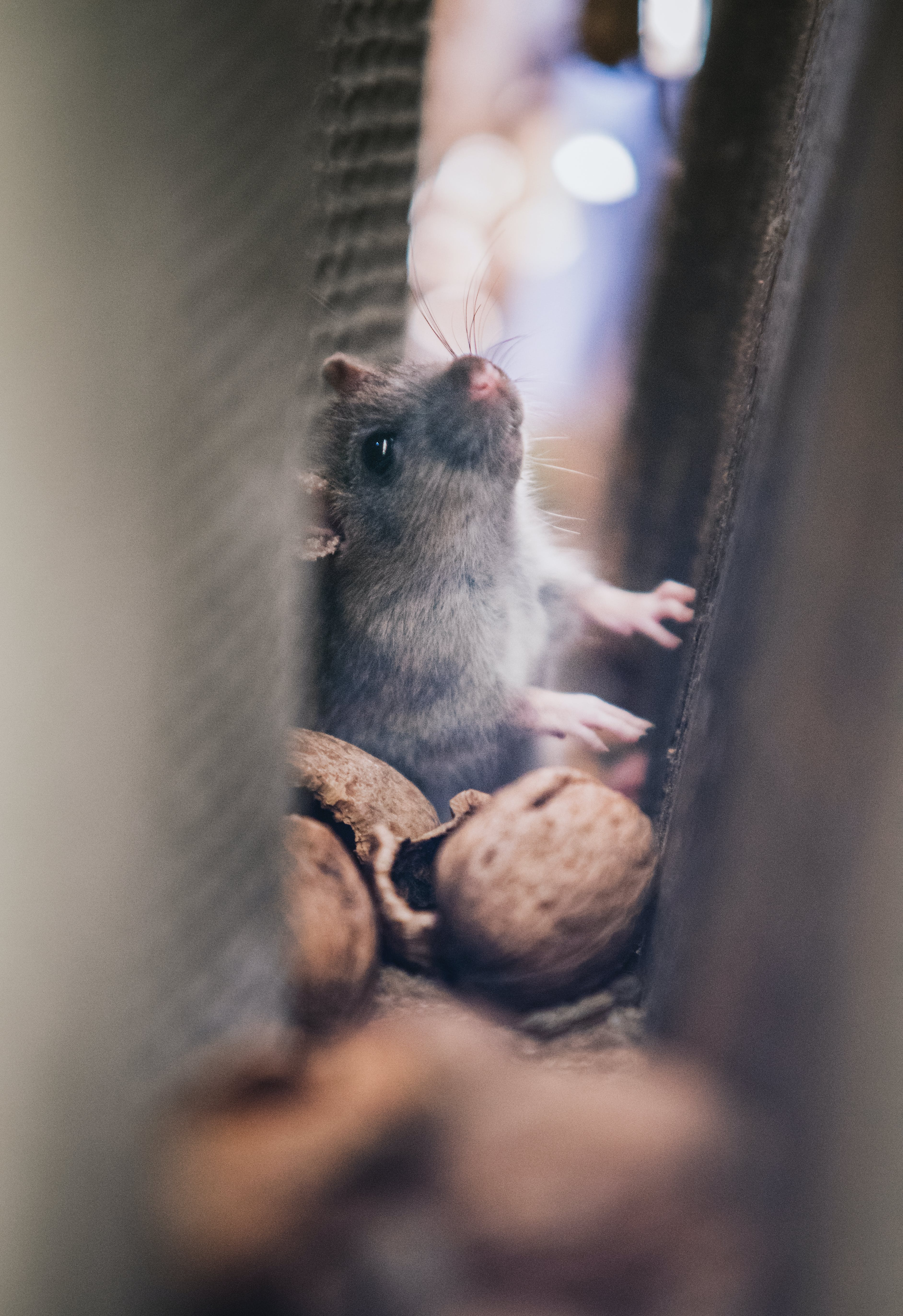 Gray Mice in the Middle of Walls