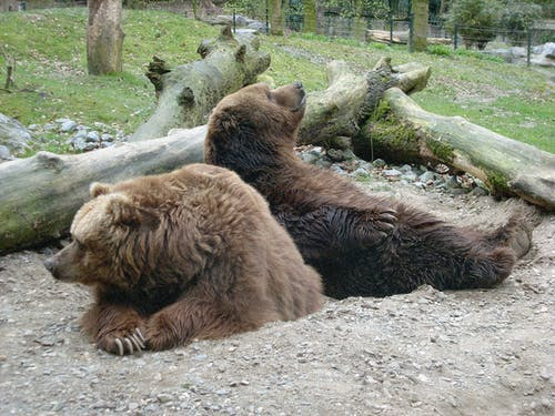 Free stock photo of bar, bears, brown