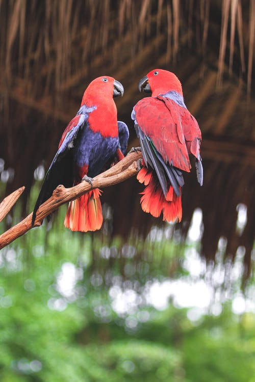 Red and Blue Parrot on Tree Branch