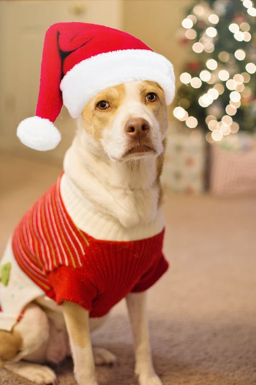 Brown and White Short Coated Dog Wearing Santa Hat