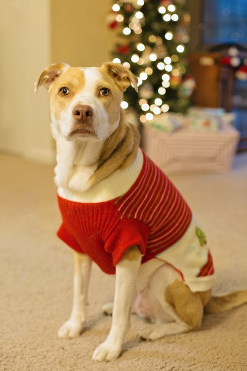 Brown and White Short Coated Dog Wearing Red and White Shirt