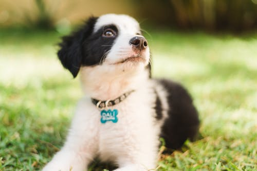 Black and White Border Collie Puppy on Green Grass Field