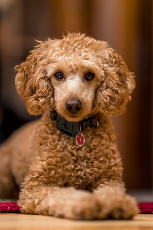 Fluffy adorable purebred poodle with dog collar