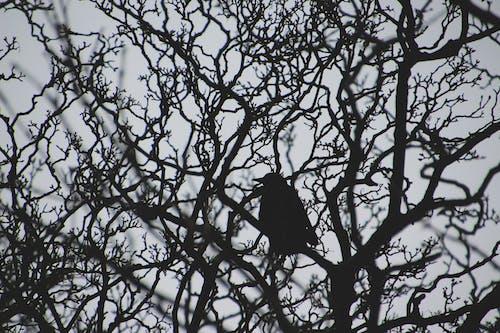 Immagine gratuita di alberi, corvo, ramo