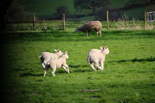 Immagine gratuita di agnello, azienda agricola, campo