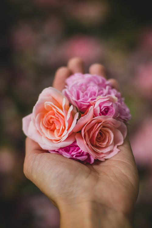 Selective Focus Photography of Person Holding Pink and Purple Rose Flowers