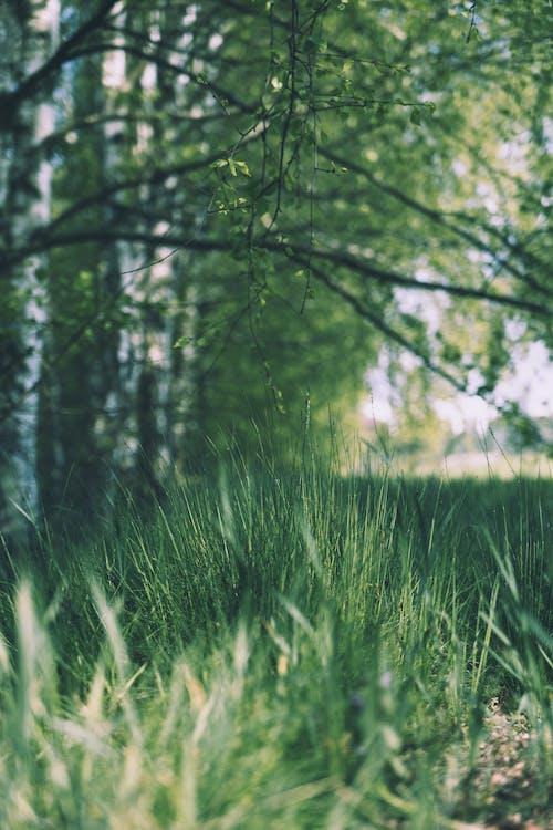 Immagine gratuita di albero, boschi, calma, campo d'erba