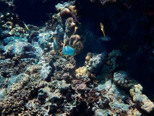 Blue and Yellow Fish on Coral Reef