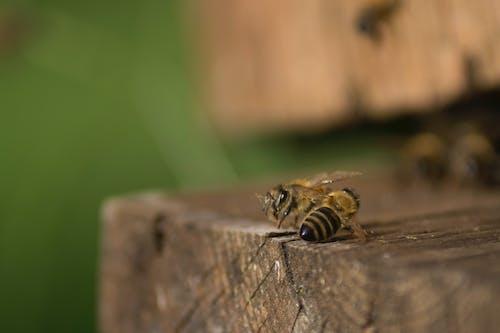Free stock photo of beekeeping, bees, honey bee, honey bees