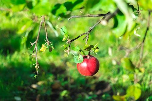 Kostenloses Stock Foto zu apfel, frisches obst, frucht, mutter natur