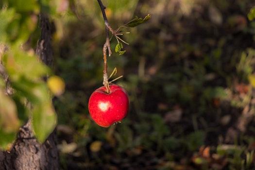 Free stock photo of apple, autumn, colors, fruit