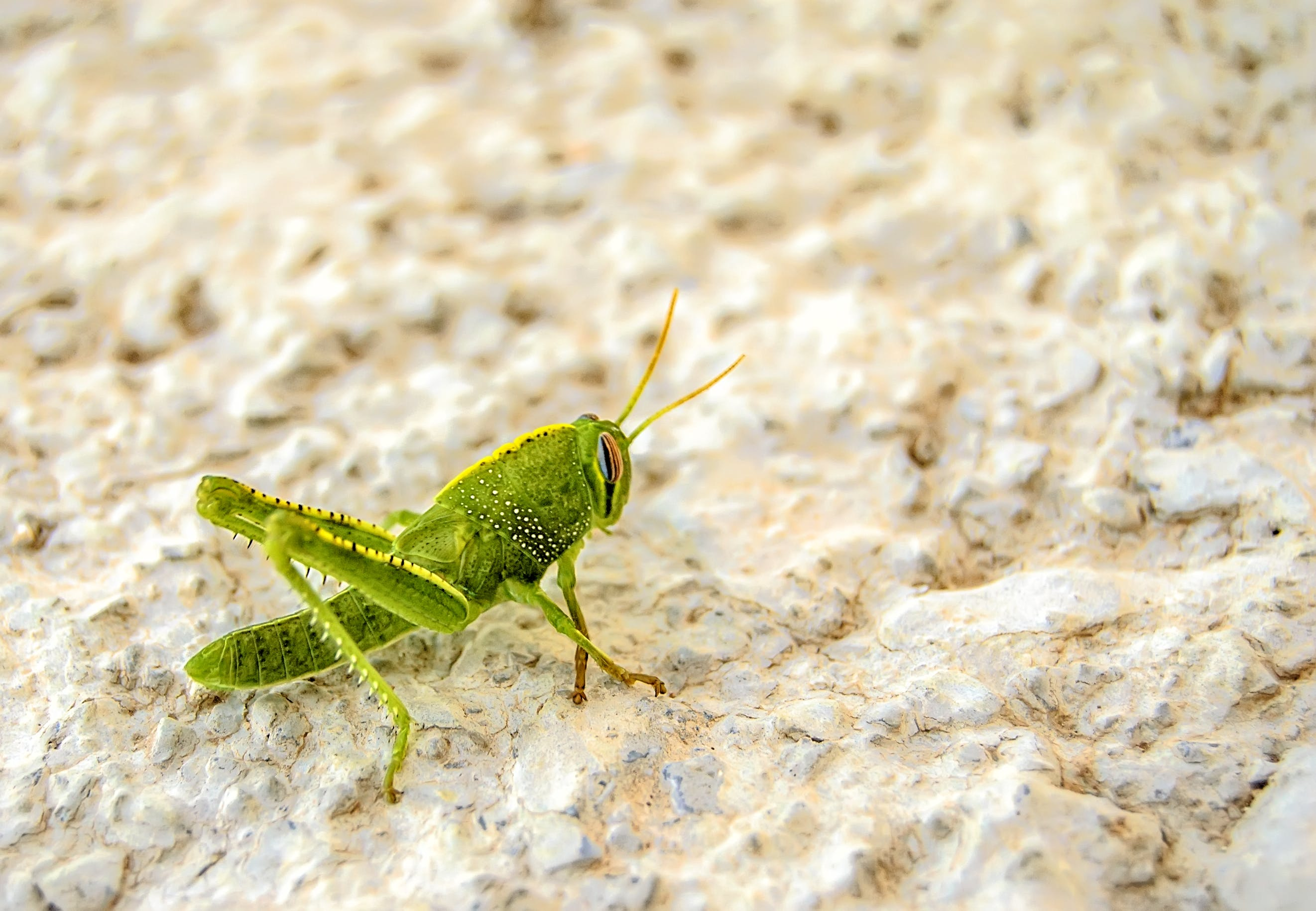 Green Grasshopper on White Surface