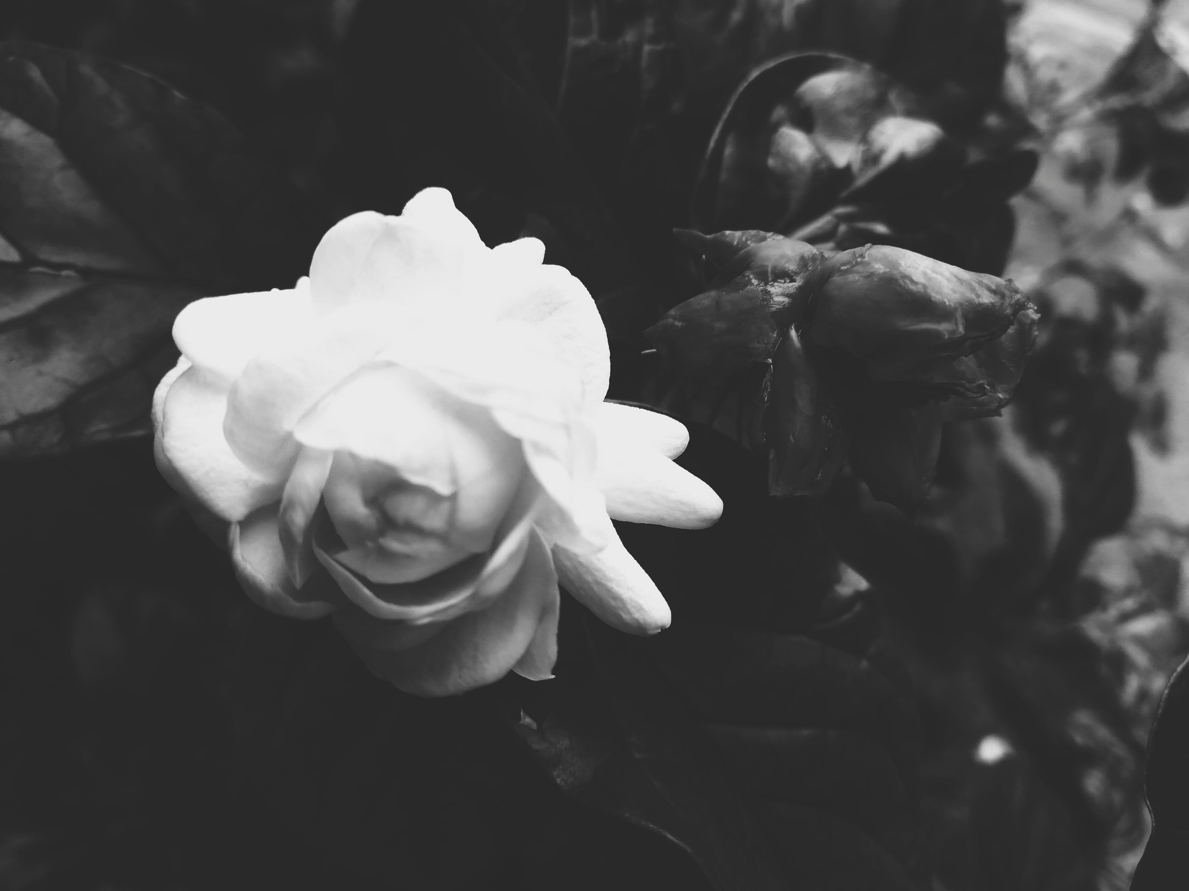 Free stock photo of black and white, bloom, blooming, dried petals