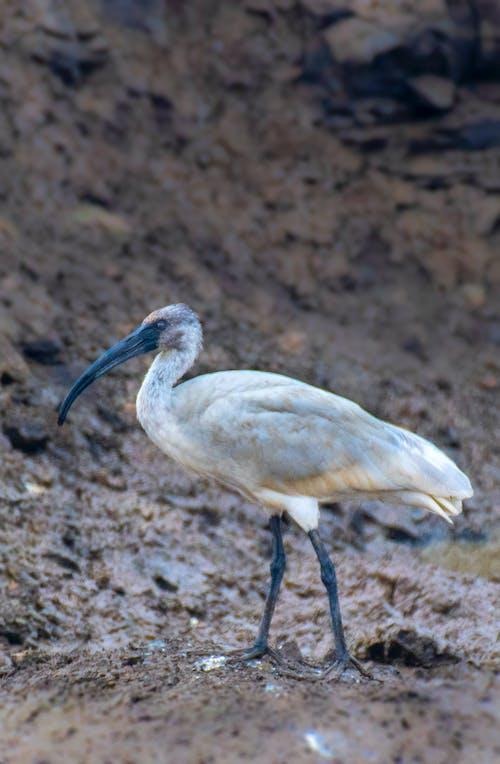 Wild ibis standing on wet ground