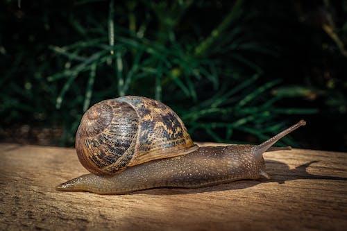 Brown Snail on Green Grass