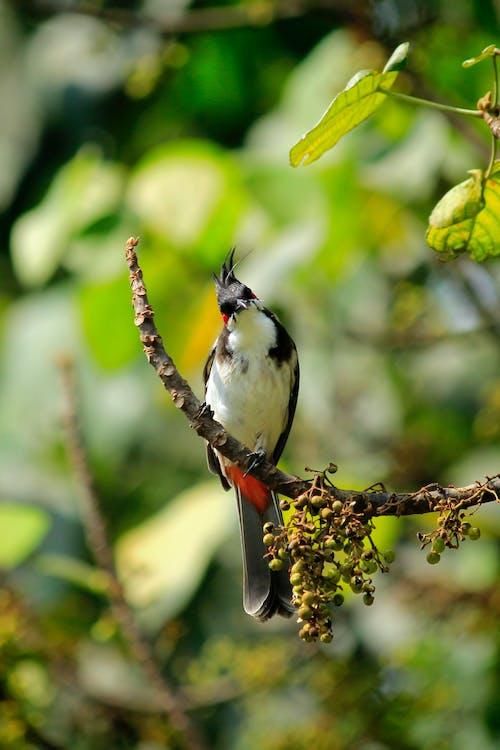คลังภาพถ่ายฟรี ของ pycnonotus, pycnonotus jocosus, กลางแจ้ง, กิ่ง