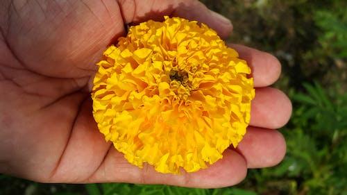 Бесплатное стоковое фото с бархатцы, желтый цветок, природный, цветок
