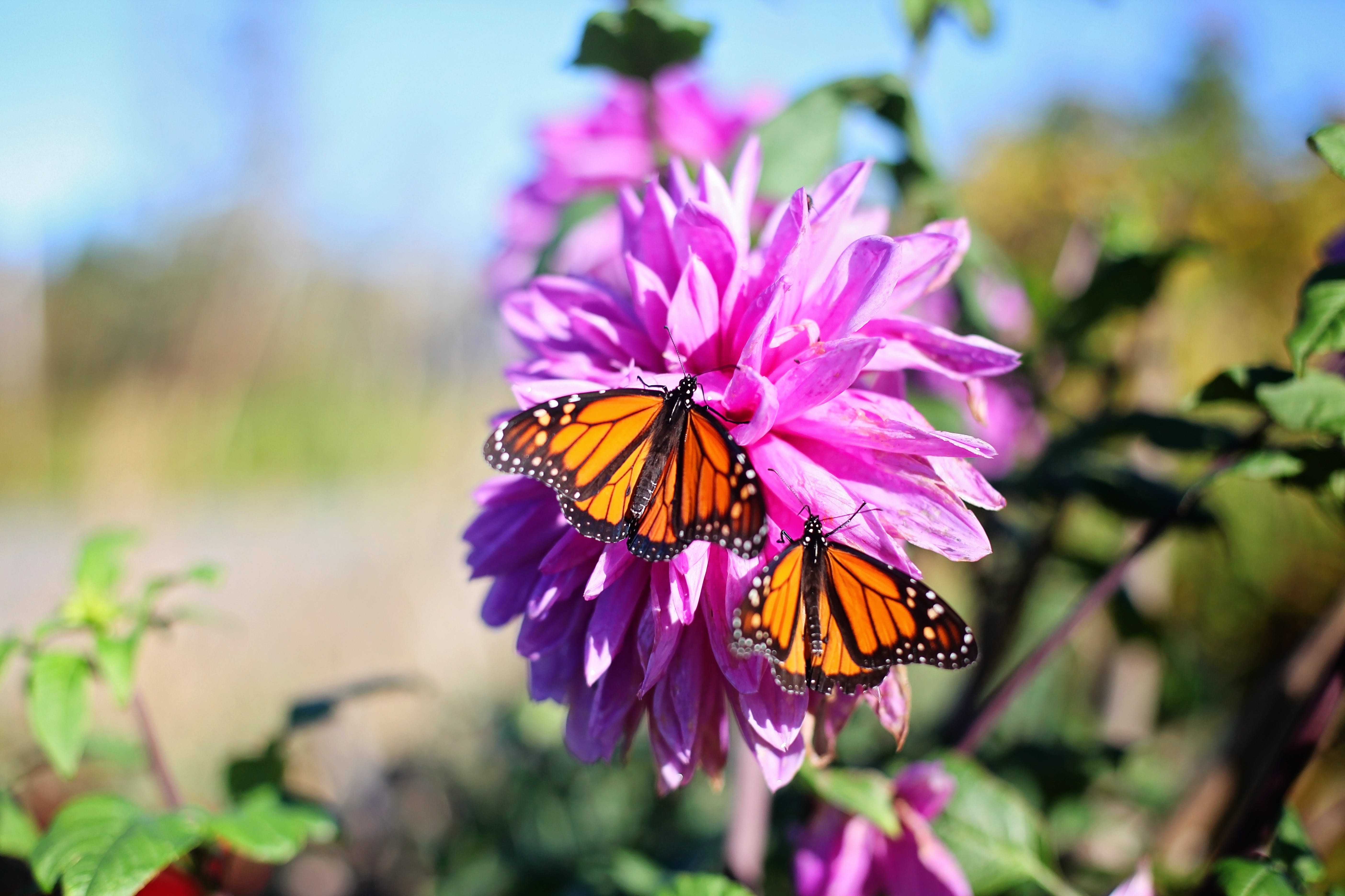 Shallow Focus Photography of Two Yellow-and-black Butterflies on Pink Flower