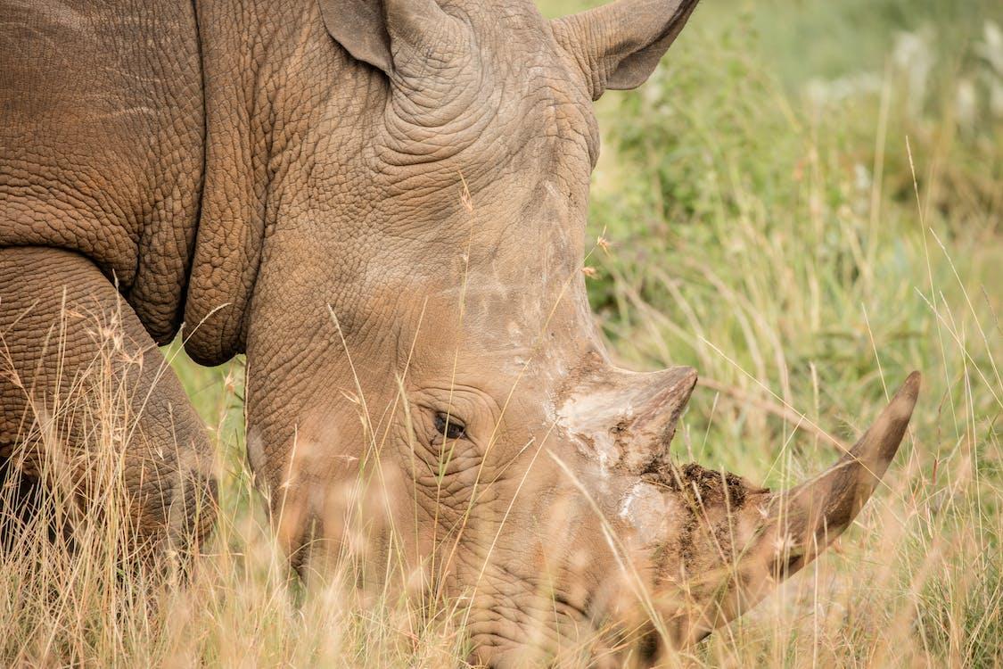 Brown Rhino on Green Grass