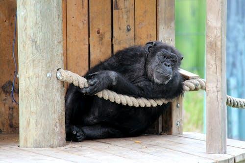 動物攝影, 猿, 野生動物 的 免費圖庫相片