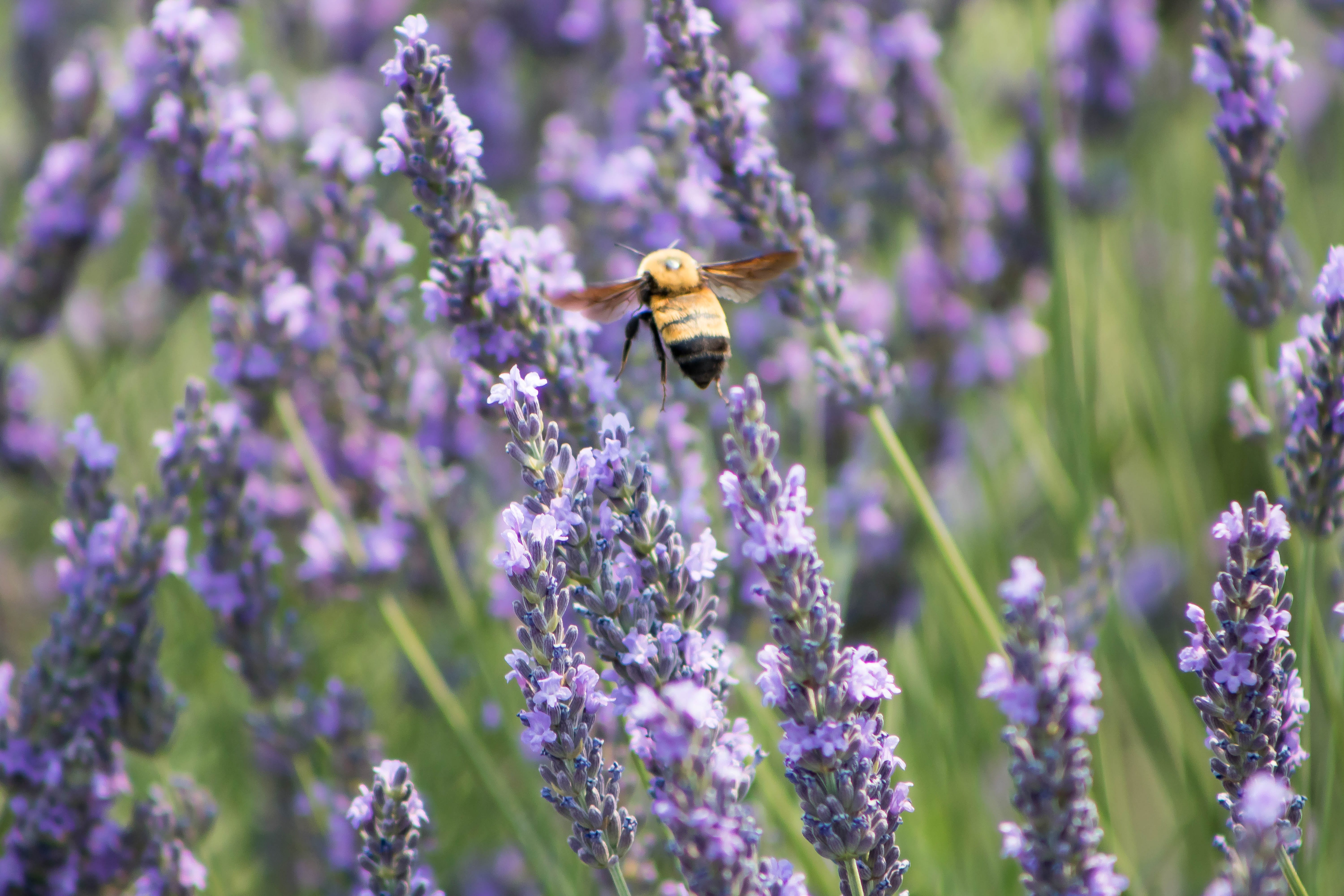 Selective Focus Photography of Bee Near on Purple Petaled Flower