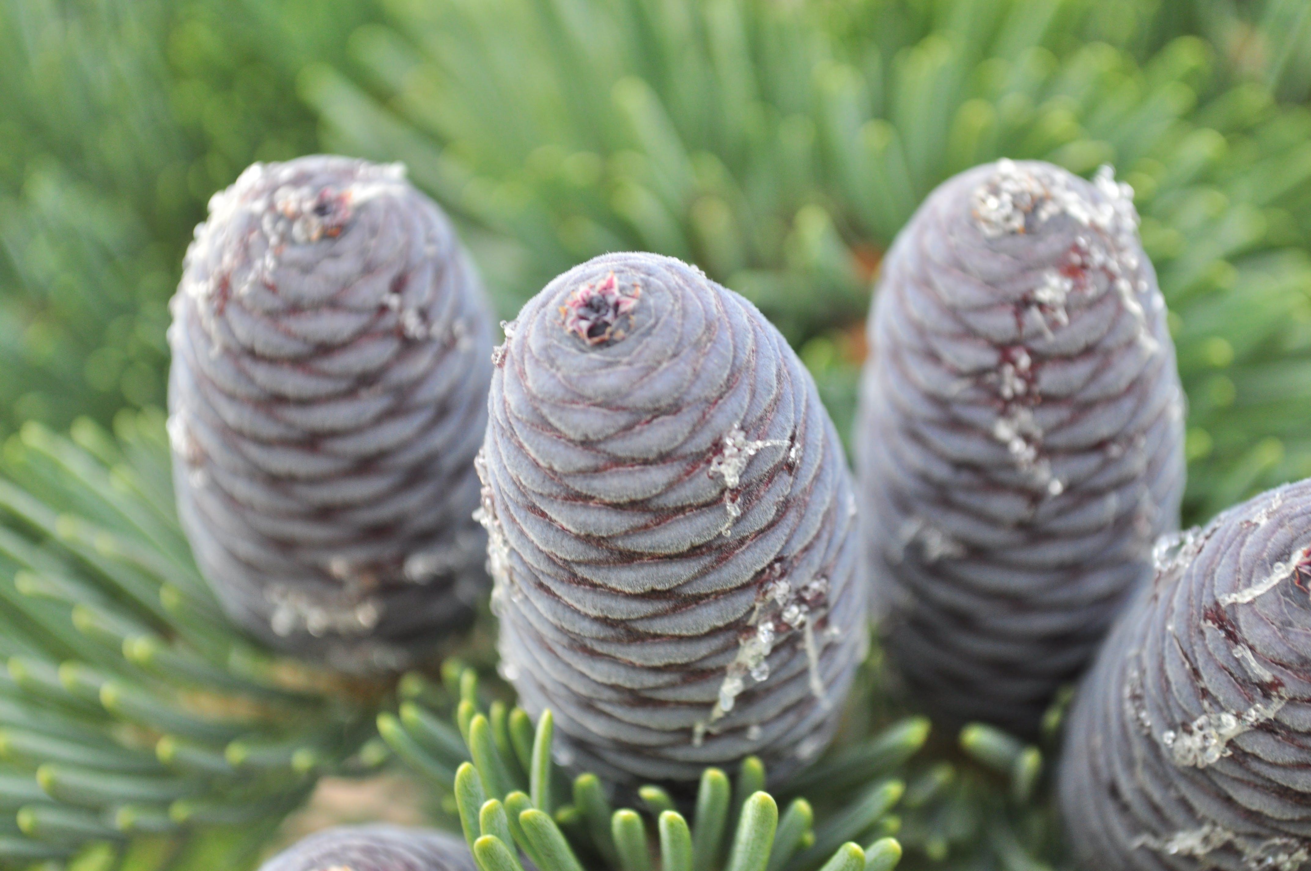 Free stock photo of cone, cones, conifer, conifer cone