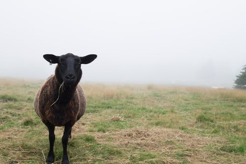 Single woolly black sheep eating grass in meadow in misty day in countryside