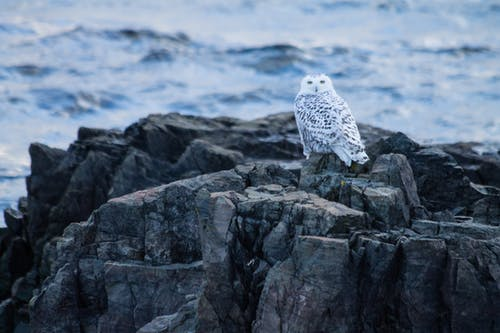 Wild snowy owl with white plumage and black spots sitting on rocky shore of waving sea