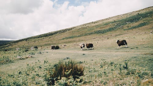Flock of sheep grazing on dry grassy meadow near hill against cloudy sky in mountainous countryside
