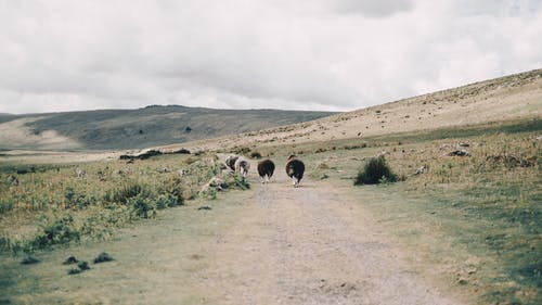 Herd of sheep walking on rural road on dry grassy hill slope during grazing in mountainous countryside on cloudy day