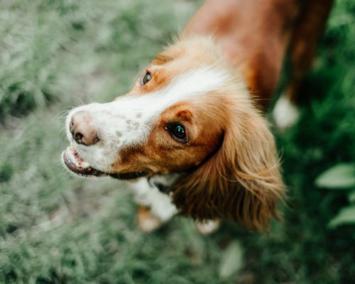 From above of cute fluffy curious Spaniel dog on blurred background of glade with fresh green herb