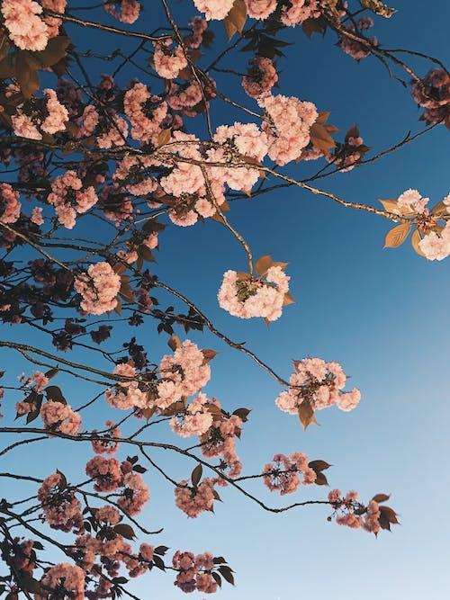 Mavi Gökyüzü Altında Beyaz Kiraz çiçeği