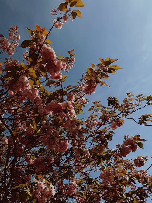 Sakura tree with pink blossoms against blue sky