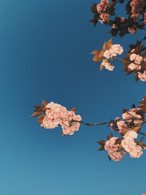 Low angle of tender aromatic pink flowers on fragile twigs of sakura tree against bright clear blue sky in sunlight